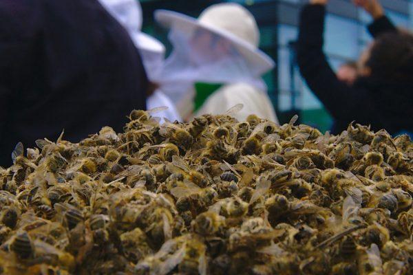 Le déclin des abeilles, en partie du à l'utilisation massive de produits phytosanitaires dans l'agriculture conventionnelle, est un véritable fléau (Crédits: NiklasPntk, Pixabay).